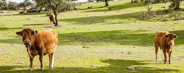 Carne de Retinto, la mejor ternera del sur